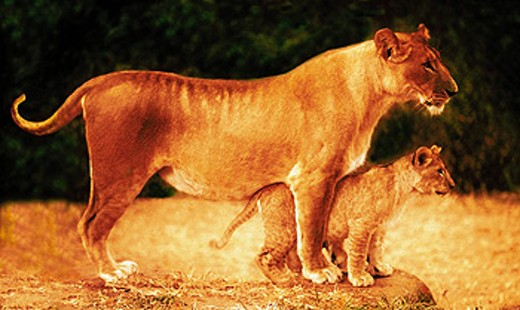 Stock Photo: 1566-0117640 Lioness and cub (Panthera leo). Kenya