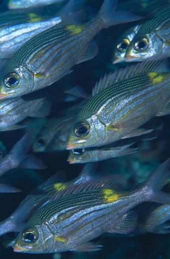 Striped large-eye Bream (Gnathodentex aurolineatus). Maldive Islands : Stock Photo