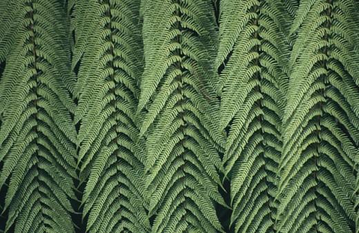 Stock Photo: 1566-0117964 Black Tree Fern or Mamaku (Cyathea medullaris). New Zealand