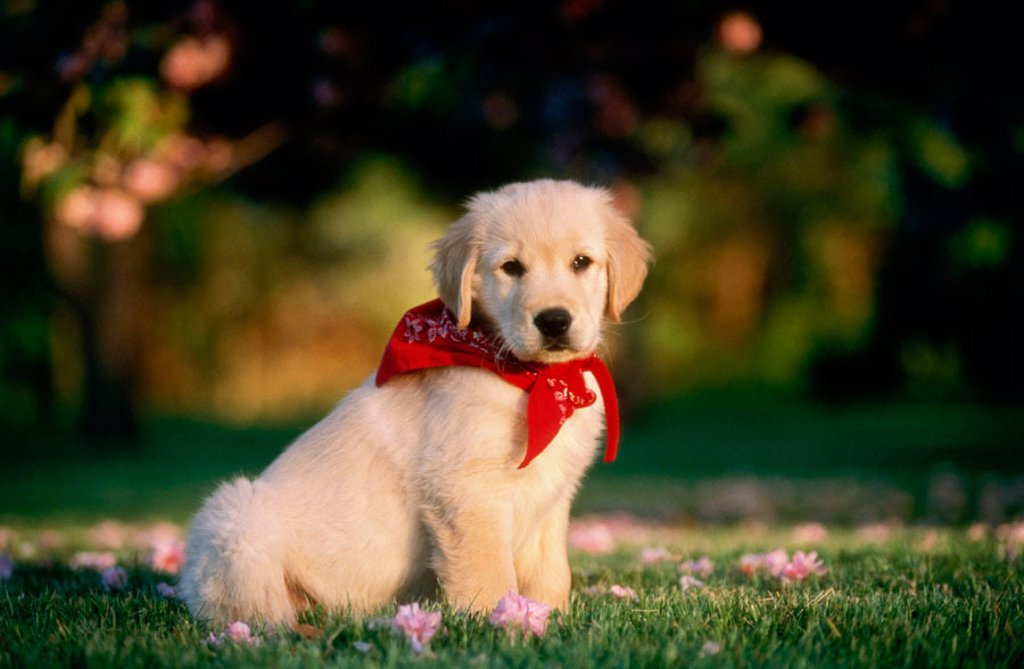 Stock Photo: 1566-0118056 Golden Retriever puppy