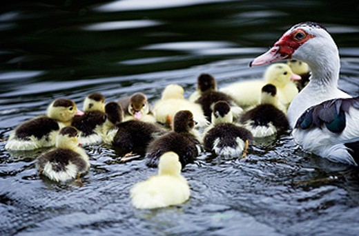 Stock Photo: 1566-0118190 Ducklings