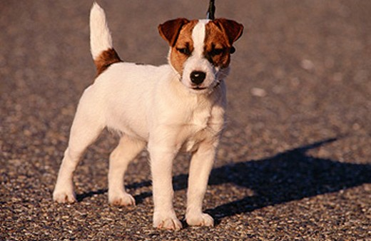 Stock Photo: 1566-0118764 Jack Russell Terrier