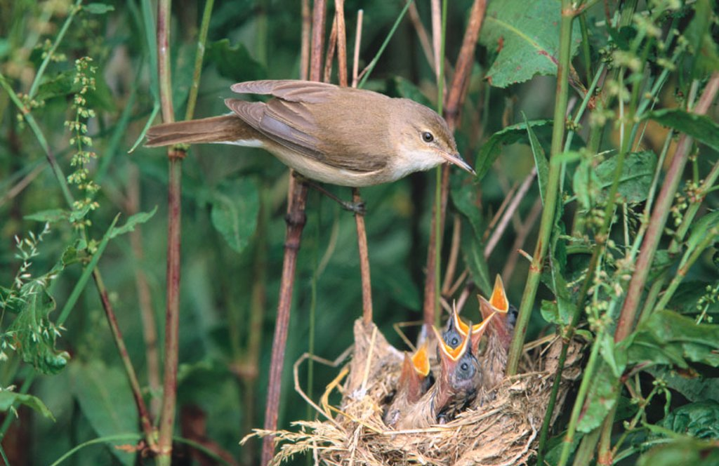 Stock Photo: 1566-0119142 Reed Warbler (Acrocephalus scirpaeus), adult feeding chicks