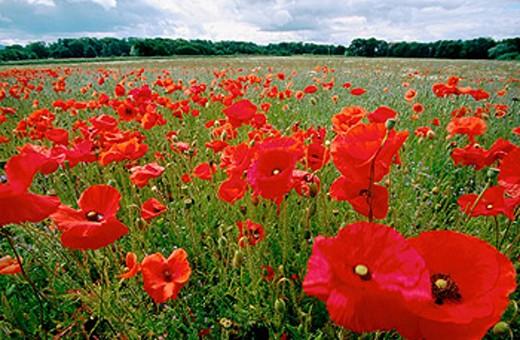 Stock Photo: 1566-0119182 Common Poppy (Papaver rhoeas). Scotland