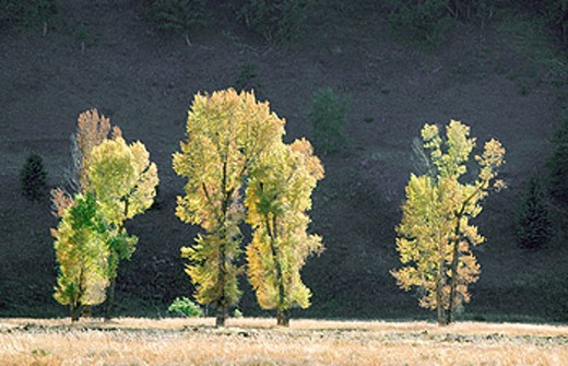 Cottonwoods (Populus deltoides) in Lamar valley. Yellowstone National Park. Wyoming. USA : Stock Photo