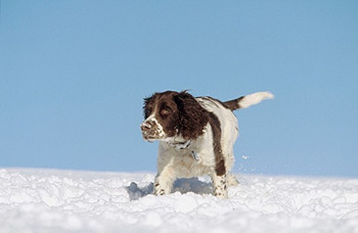 Springer Spaniel puppy (4 months old) playing in snow. Scotland : Stock Photo