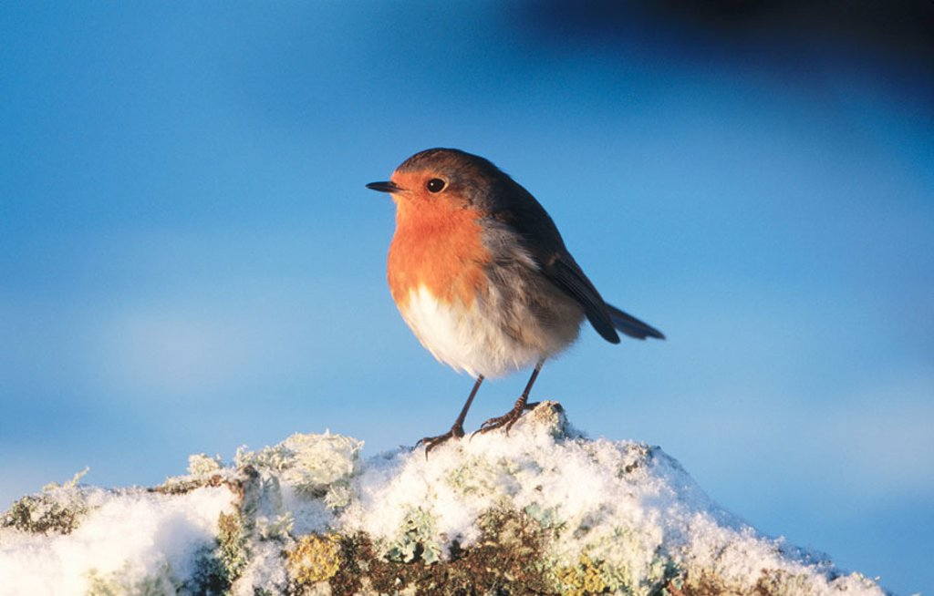 Robin (Erithacus rubecula). Perched on branch in snow. Strathspey. Scotland. UK : Stock Photo