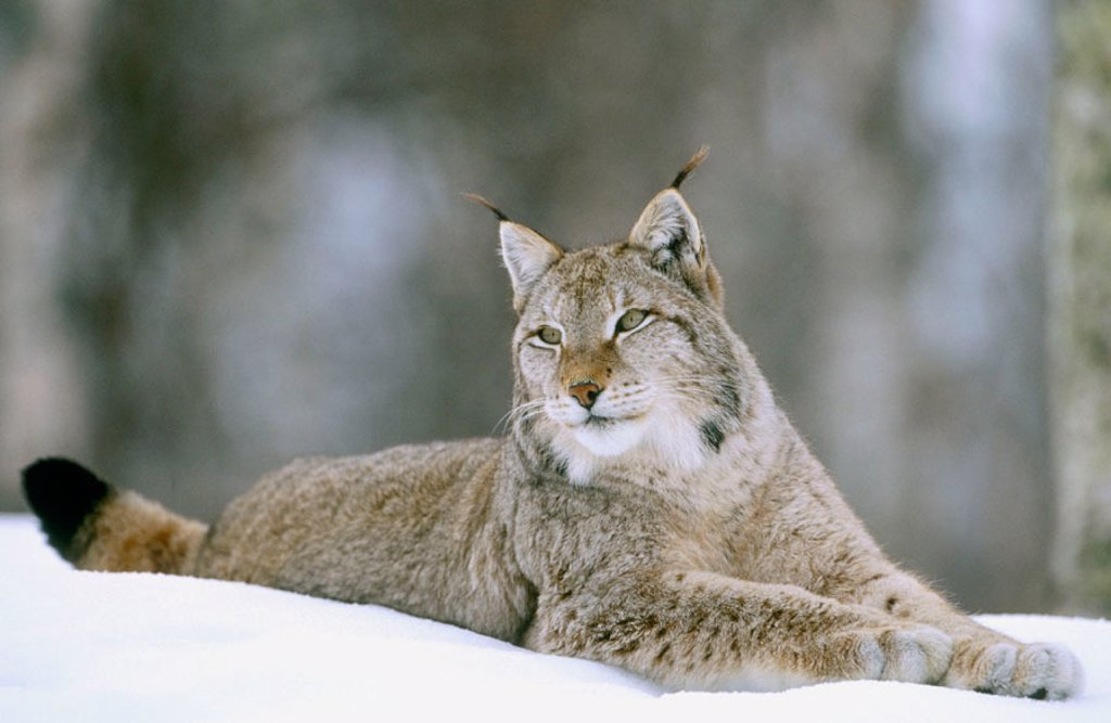 European lynx (Felis Lynx). Adult male lying on snow. Norway : Stock Photo