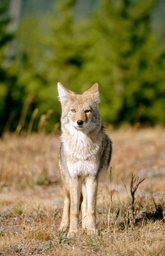 Stock Photo: 1566-0119442 Coyote (Canis latrans). Adult stood on forest edge. Yellowstone National Park. Wyoming. USA