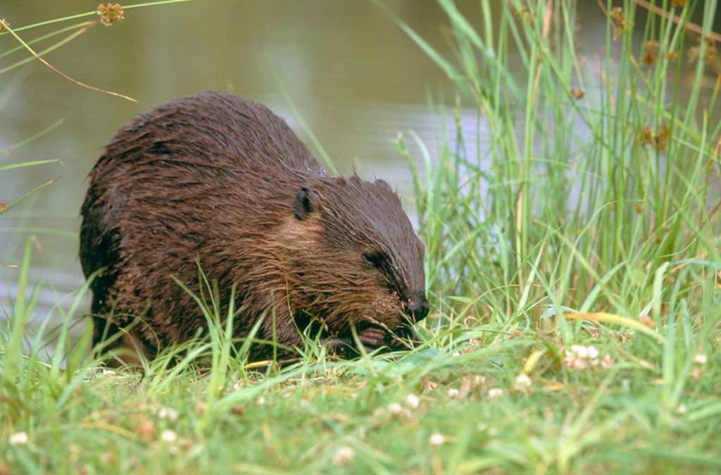 Canadian Beaver (Castor canadensis), adult feeding on riverbank. Michigan. USA : Stock Photo