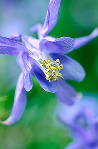 Columbine blossom (Aquilegia sp.) : Stock Photo