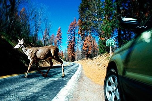 Car swerving off the road to avoid a deer ahead : Stock Photo