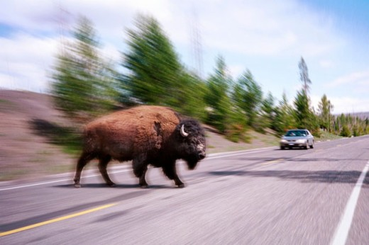 Stock Photo: 1566-0120387 Buffalo crossing a road inside Yellowstone National Park. Digitally manipulated image