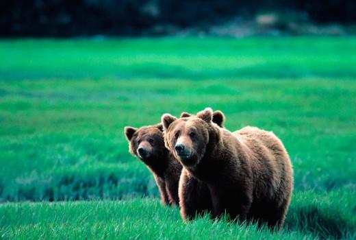 Brown Bears (Ursus arctos), sow and cub. Alaska. USA : Stock Photo