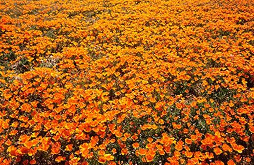 Stock Photo: 1566-0120641 California Poppies Sage (Eschscholzia californica) Antelope Valley. California, USA