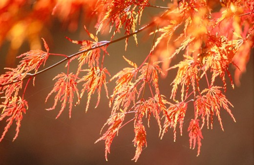 Japanese Maple (Acer palmatum) leaves at autumn. Ashland. Oregon. USA : Stock Photo