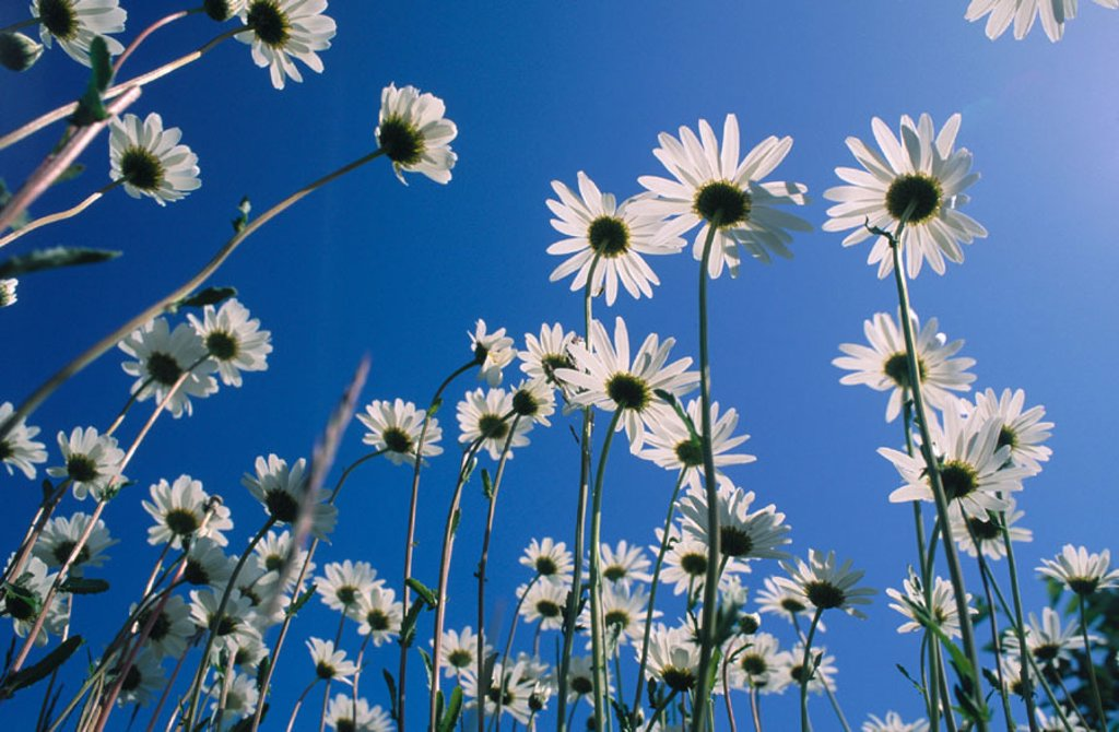 Stock Photo: 1566-0120709 Daisies. Anchorage. USA
