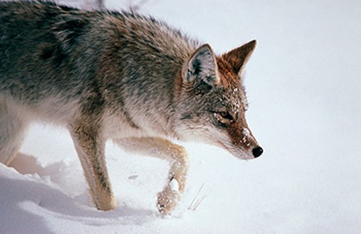 Coyote (Canis latrans) hunting in winter. Yellowstone National Park. Wyoming. USA : Stock Photo