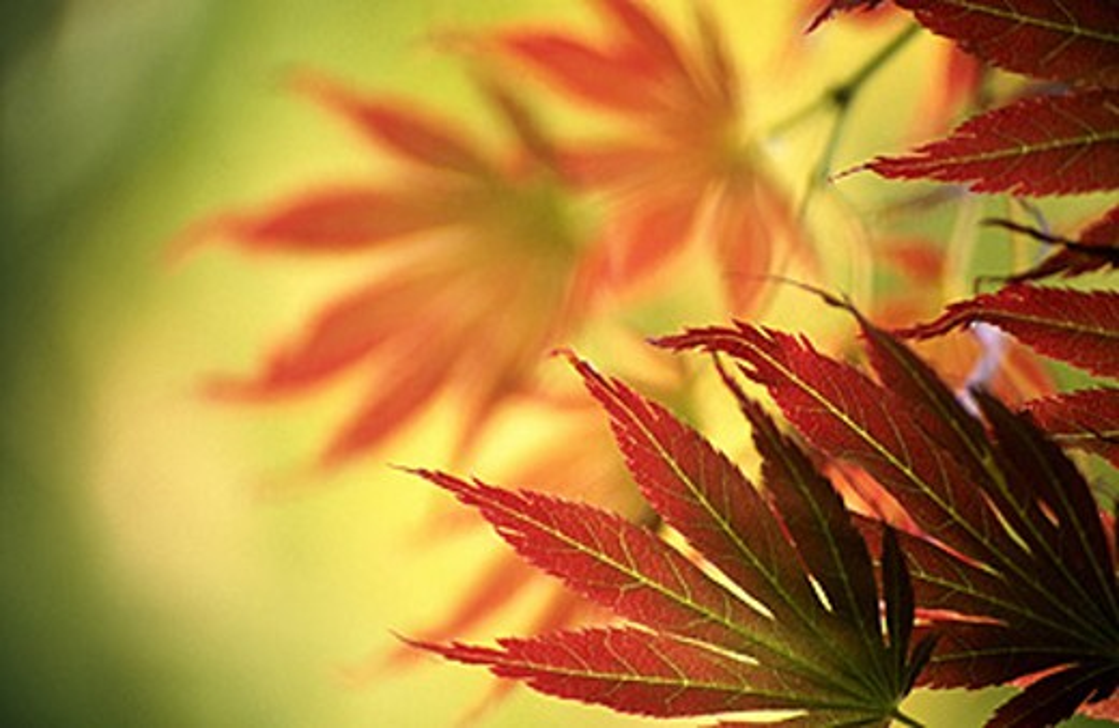Japanese Maple (Acer palmatum) leaves : Stock Photo