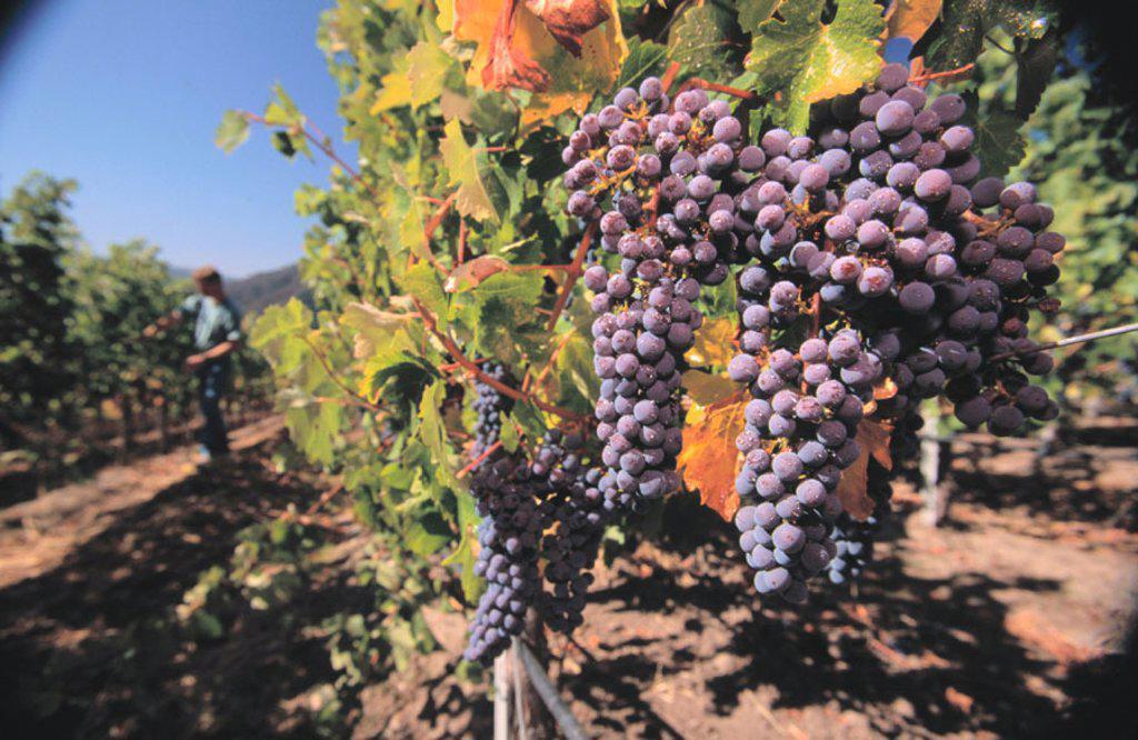 Stock Photo: 1566-0122424 Cabernet grapes vineyard. Carmel valley. California. USA