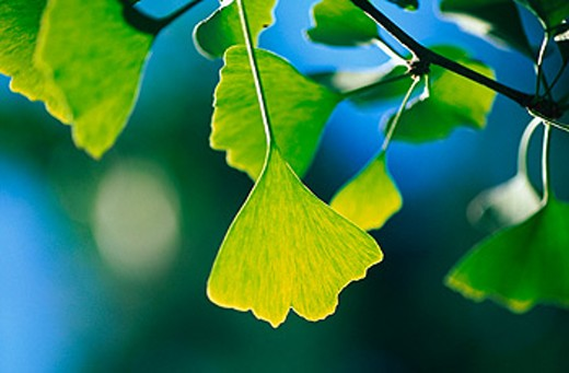Ginkgo biloba tree : Stock Photo