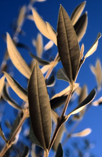 Stock Photo: 1566-0124299 Olive tree (Olea europaea)