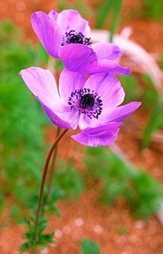 Stock Photo: 1566-0124341 Poppy Anemones (Anemone coronaria)