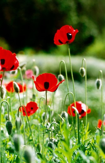 Flanders poppy (Papaver commutatum) : Stock Photo