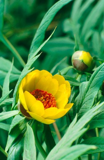 Tree paeony (Paeonia lutea) : Stock Photo