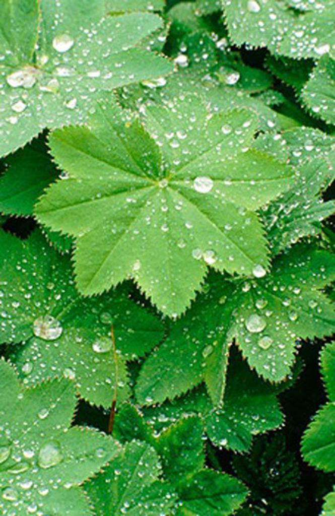 Lady´s Mantle (Alchemilla sp.) : Stock Photo