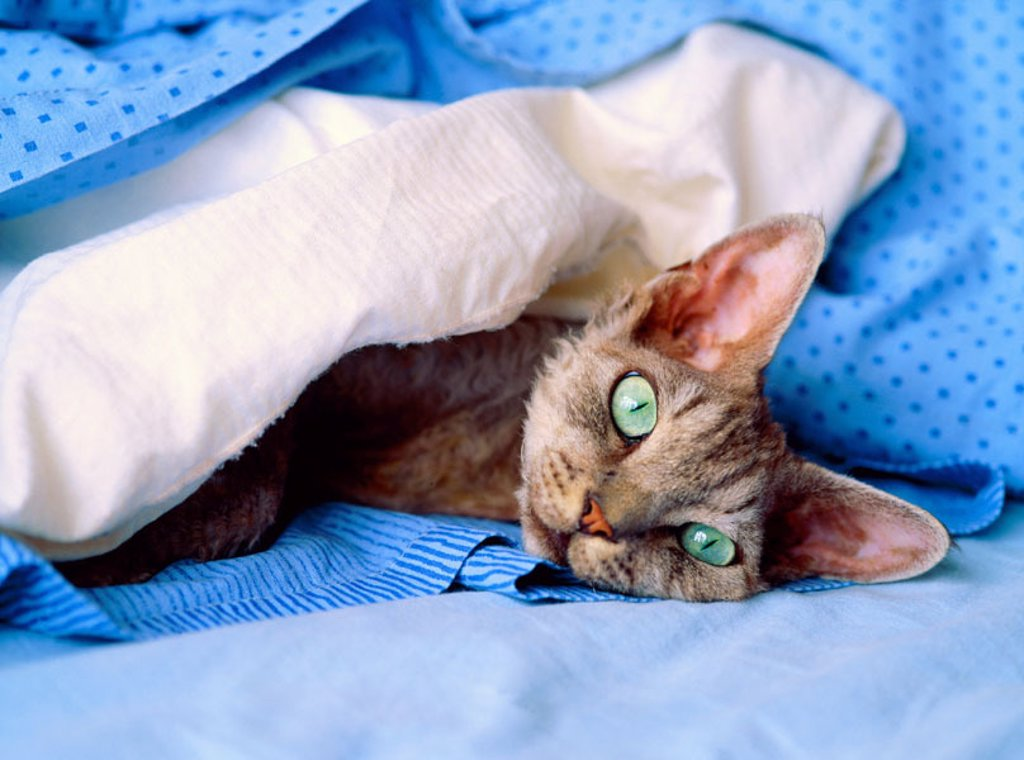 Stock Photo: 1566-0128672 Devon Rex cat.
