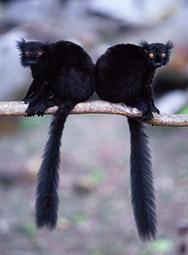 Black lemurs (Eulemur macaco macaco). Madagascar. : Stock Photo