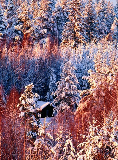 Snowy trees and barn. Sweden : Stock Photo