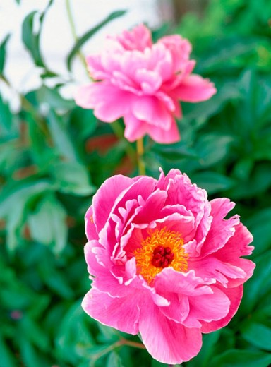 Chinese Tree Peony (Paeonia suffruticosa) : Stock Photo