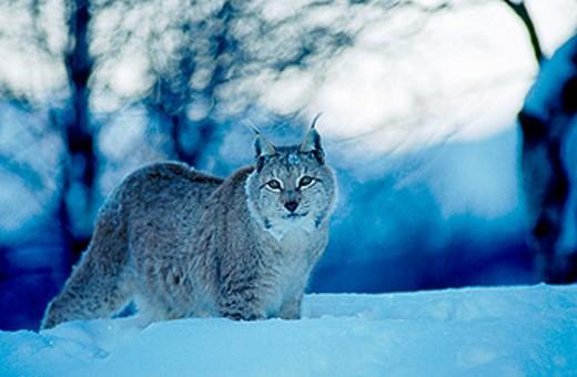 Lynx (Lynx lynx). Norway : Stock Photo