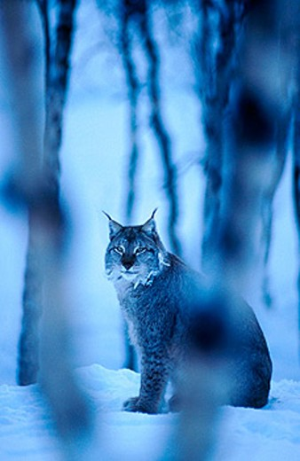 Stock Photo: 1566-0129135 Lynx (Lynx lynx). Norway