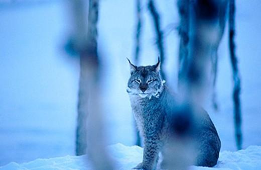 Stock Photo: 1566-0129136 Lynx (Lynx lynx)