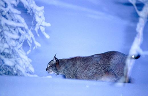 Stock Photo: 1566-0129140 Lynx (Lynx lynx)