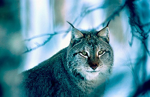 Stock Photo: 1566-0129144 A lynx (Lynx Lynx) sitting among some branches. Norway