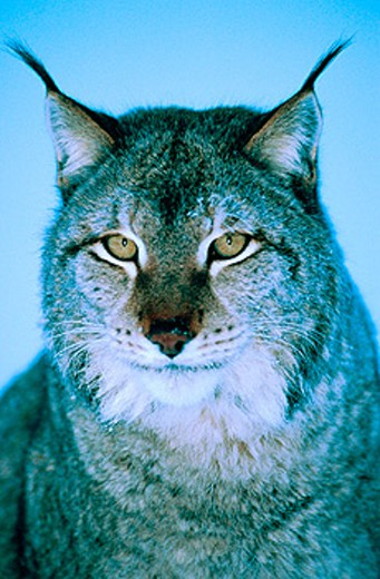 Stock Photo: 1566-0129146 A lynx (Lynx Lynx) head in close up. Norway
