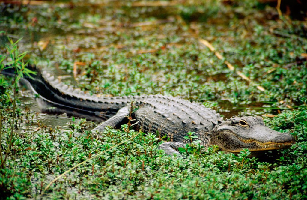 Stock Photo: 1566-0129154 An american alligator (Alligator Mississippiensis). Everglades. Florida. U.S.A