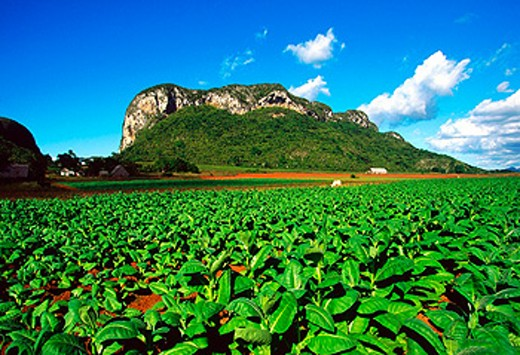 Cuba, province of pinar del rio, Val de Vinales, tobacco plantation. : Stock Photo