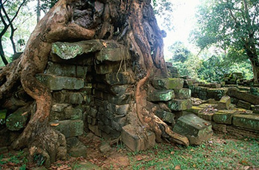 Edification inside a roots´ tree in a budist temple. Angkor. Siem Reap. Cambodia : Stock Photo