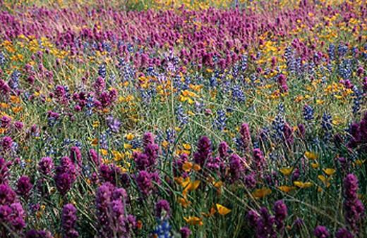 Stock Photo: 1566-0132726 Wildflowers. Sonoran Desert. Arizona. USA