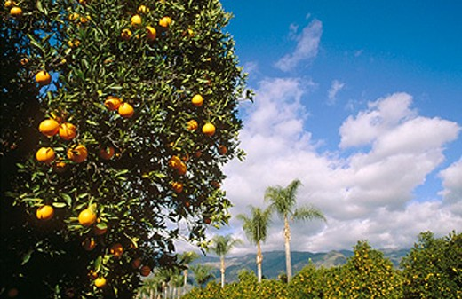 Stock Photo: 1566-0132917 Orange groves and palm trees in Ojai Valley. California. USA