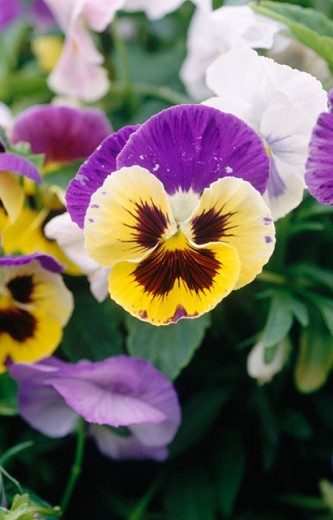 Colourful pansy : Stock Photo