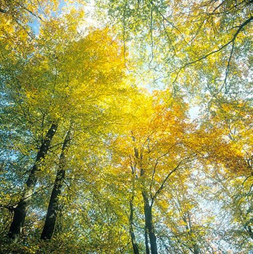 Beech forest in autumn colors. (lat. Fagus sylvatica.) Söderåsen National Park. Skåne, Sweden. : Stock Photo