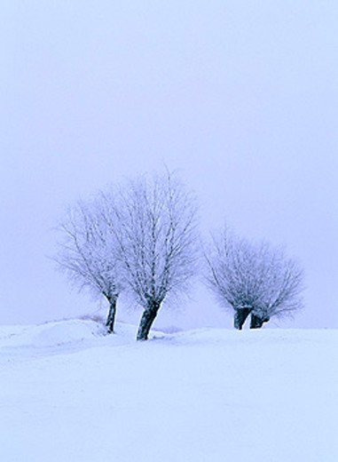 Row of trees by road. Skåne. Sweden : Stock Photo