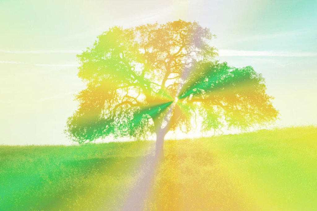 Oak tree. California : Stock Photo