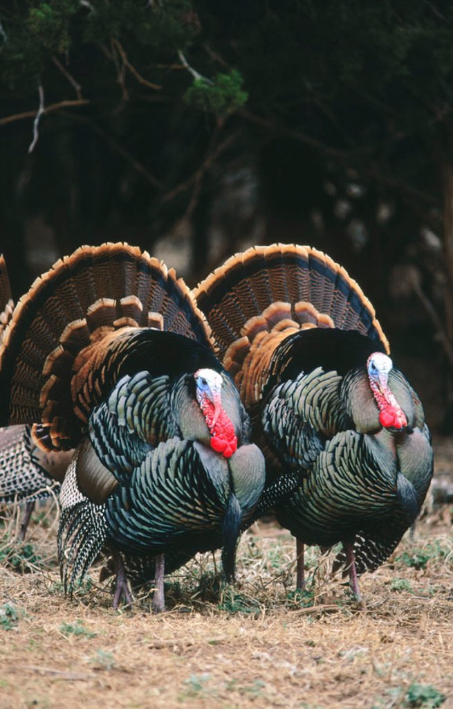 Turkeys (Meleagris gallopavo) : Stock Photo